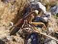 Praying Mantis. Mantis religiosa (31924069174).jpg