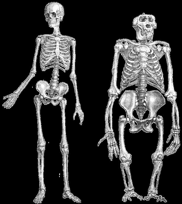 orangutan human last common ancestor wikiwand
