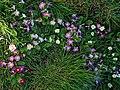 Primrose primula cultivars in Great Canfield churchyard, Essex, England 02.jpg