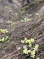 Primula vulgaris 126365518.jpg