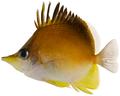 Prognathodes aculeatus - pone.0010676.g101.png