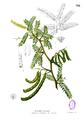 Prosopis juliflora Blanco2.392.png