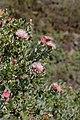Protea punctata (Proteaceae) (4575515105).jpg
