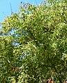 Prunus brachybotrya 4.jpg