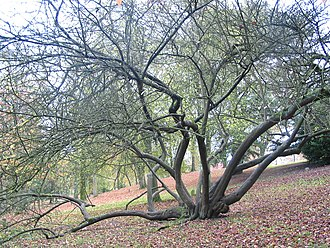 Cherry plum - Image: Prunus cerasifera JPG1a