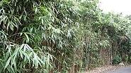 Pseudosasa japonica7