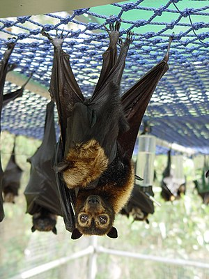 Spectacled flying fox - Image: Pteropus conspicillatus with baby