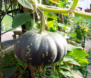 Pumpkin attached to a stalk