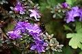 Purple Blossom And Bee (256928847).jpeg