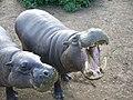 Pygmy hippopotamus hungry.jpg
