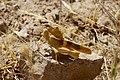 Pyrgodera armata (Acrididae- Oedipodinae) (32796696220).jpg