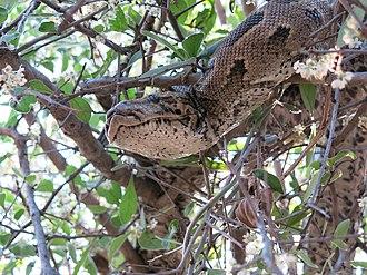 African rock python - Python natalensis, Makuleke/Pafuri, Kruger National Park, South Africa