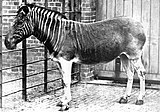 A quagga in London Zoo