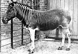 Une des dernières photographies d'un quagga vivant: une femelle, photographiée au Regent's Park Zoo de Londres, en 1870