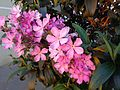 Quaresmeira rosa 2.jpg