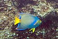 Queen angelfish Holacanthus ciliaris (3476124869).jpg