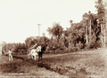 Queensland State Archives 5100 Ploughing for late crop of corn at F Warnes Homestead Teutoberg Blackall Range c 1899.png