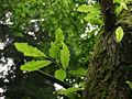 Quercus castaneifolia JPG1b.jpg
