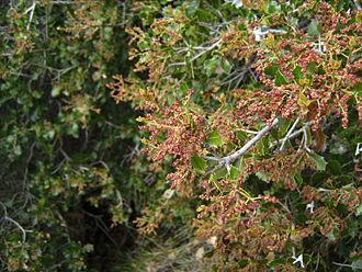 Quercus coccifera - Flowering, Castelltallat.