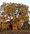 Quercus geminata 002 (homeredwardprice).jpg