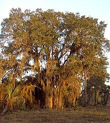 Quercus geminata - Wikipedia