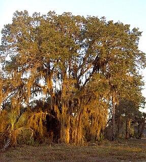 Live oak Evergreen plants in the genus Quercus