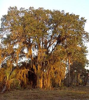 Live oak - Sand live oak (Quercus geminata)