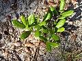 Quercus pumila Running Oak (homeredwardprice).jpg