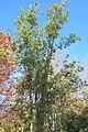 Quercus schottkyana (Cyclobalanopsis glaucoides) - Quarryhill Botanical Garden - DSC03761.JPG