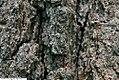 Quercus velutina 1zz.jpg