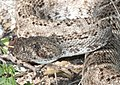 RATTLESNAKE, WESTERN DIAMOND-BACK (Crotalus atrax) (8-27-13) sonoita creek state natural area, scc, az -02b (9611943274).jpg