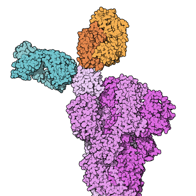 REGN-COV2 binding SARS-CoV-2 spike protein.png