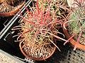 Raccolta succulenti Savona (5).jpg