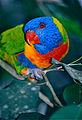 Rainbow Lorikeet (Trichoglossus moluccanus) (9876232274).jpg