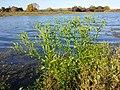 Ranunculus sceleratus sl19.jpg