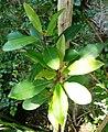 Rapanea melanophloeos - shoots.JPG