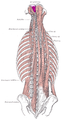 Rectus capitis posterior minor muscle.png