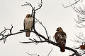 Red-Tailed Hawks (8480817954).jpg