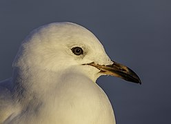 Red-billed gull (immature), New Brighton, New Zealand.jpg