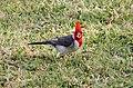 Red-crested Cardinal (Paroaria coronata) (26464542335).jpg