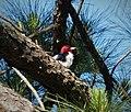 Red-headed Woodpecker Melanerpes erythrocephalus (38003400485).jpg