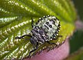 Red-legged Shieldbug (35341650000).jpg