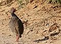 Red-necked Spurfowl (Pternistis afer castaneiventer) (46438096892).jpg