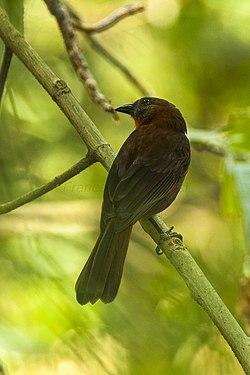 Red-throated Ant-Tanager - Panama MG 2704 (22623294103).jpg