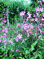 Red Campion May2008.jpg