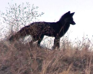 Ridgeline Open Space - Image: Red Fox (during its black pelt color phase) Ridgeline Open Space Castle Rock, Colorado