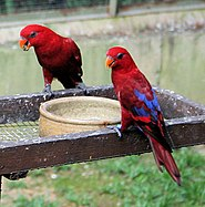 Red Lory (Eos bornea) -two on food tray.jpg