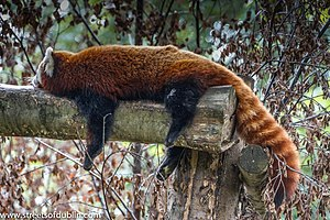 Red Panda In Dublin Zoo (7890040172).jpg