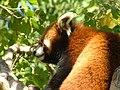 Red Panda Simon 03.jpg