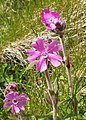 Red campion in the verge - geograph.org.uk - 479760.jpg